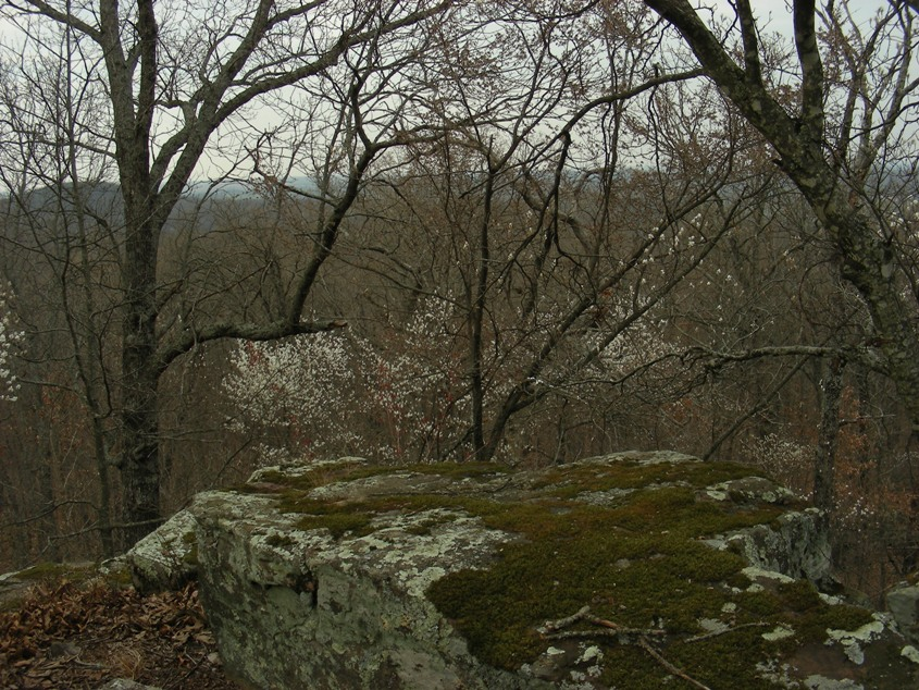 Serviceberry, Wedington Ridge